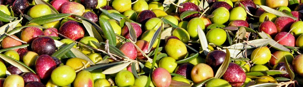 ripe arbequina olives