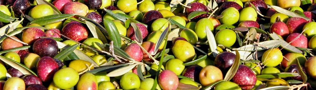 ripe arbequina olives